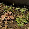 【アジュガ成長日記】少しずつ新しいが芽が生えてきた!