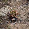 アジュガが枯れはてた!冬に植えたのが問題か?