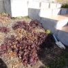 やはりアジュガは冬に枯れる。ほぼ全滅状態。
