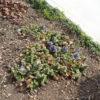 アジュガの花が増えてきた!【4月上旬】