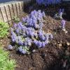 アジュガの花が満開!【4月下旬】